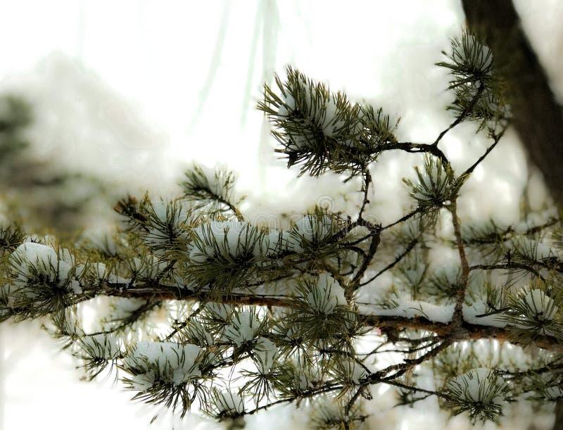 Sneeuwpijnboomtak stock foto