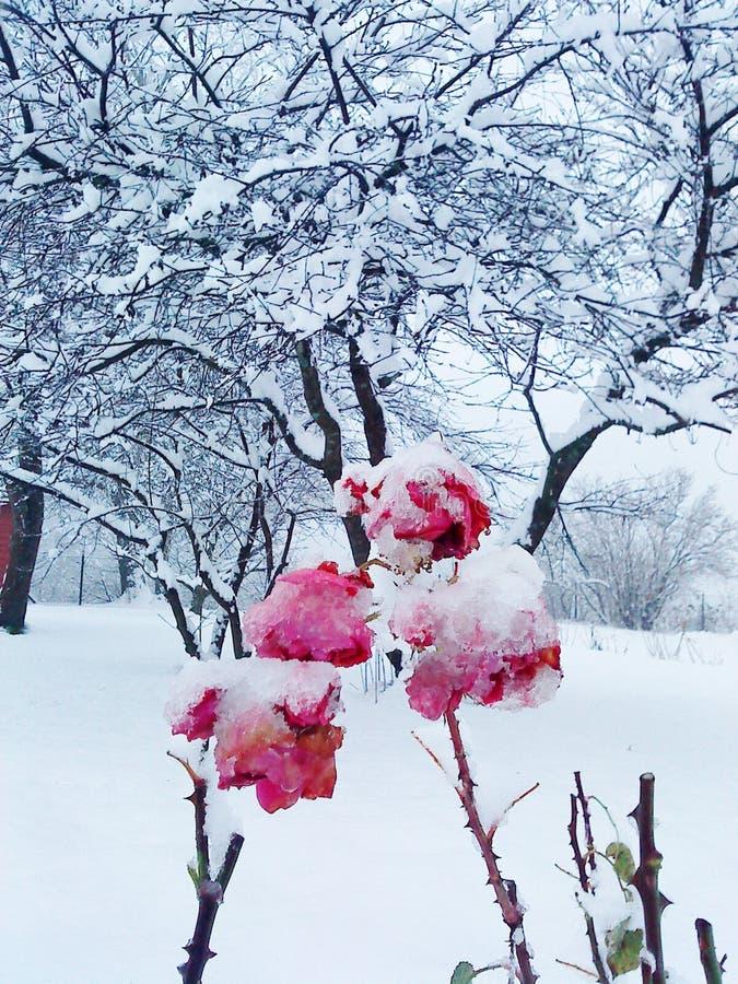 Sneeuwrozen stock foto's
