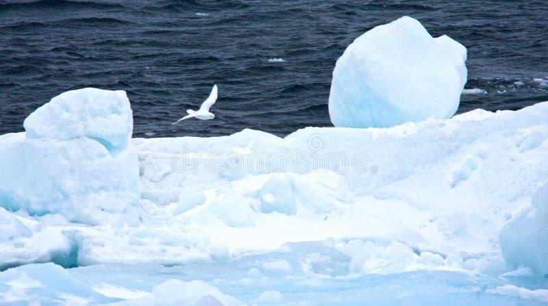 Sneeuwstormvogel, procellaria della neve, pagodroma nivea fotografia stock