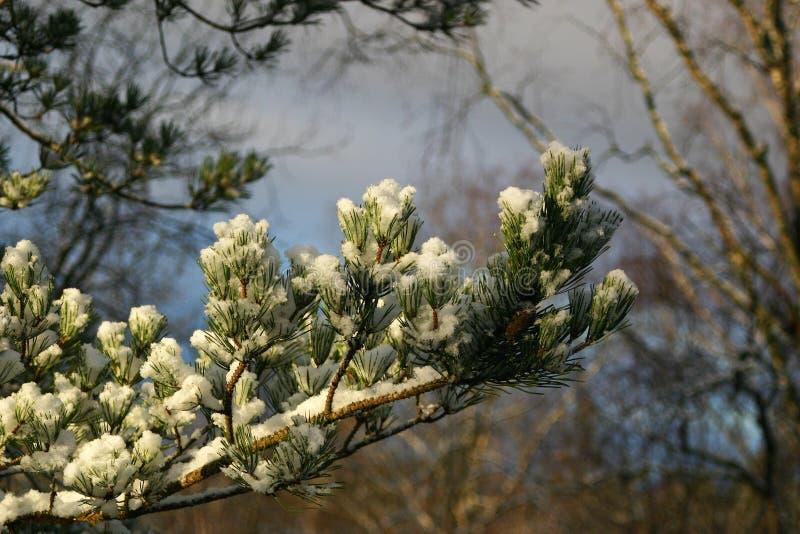 Sneeuwtak van een pijnboom op een mooie zonneschijn stock afbeeldingen