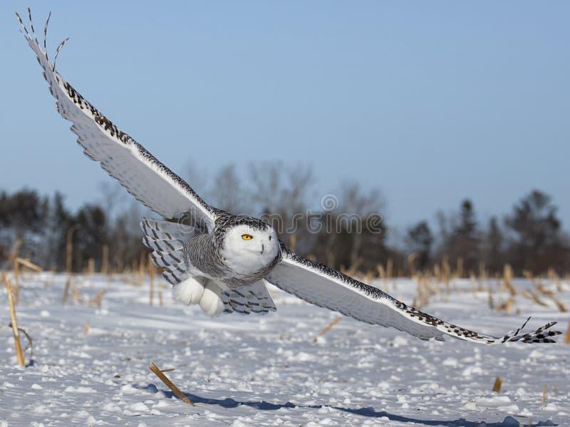Sneeuwuil royalty-vrije stock fotografie