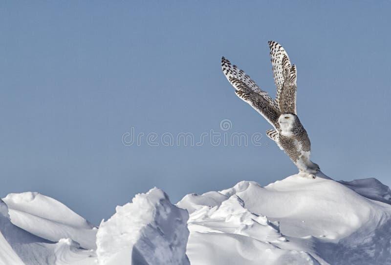 Sneeuwuil royalty-vrije stock afbeeldingen
