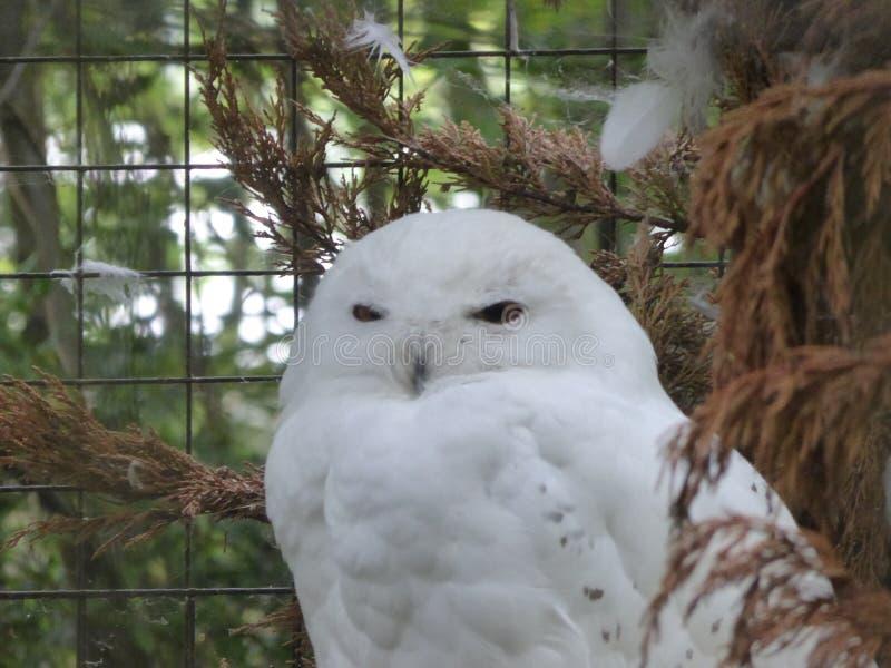 Sneeuwuil die uit de wereld bekijkt royalty-vrije stock afbeeldingen