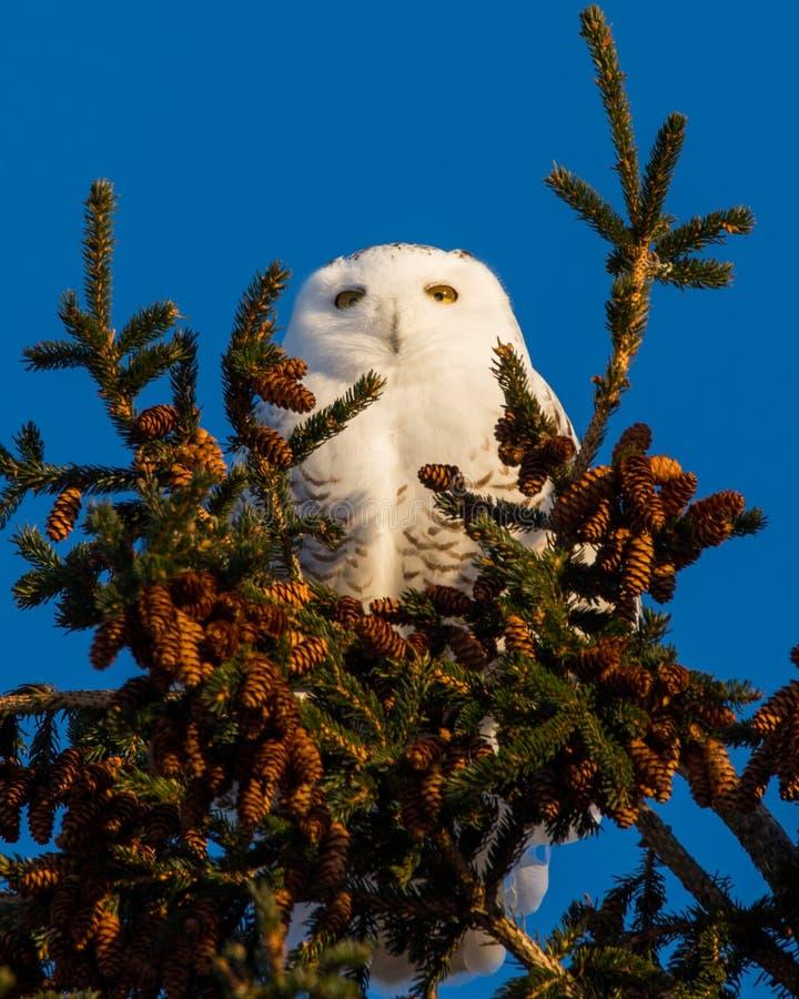 Sneeuwuil op de bovenkant van de pijnboomboom in de Winter stock afbeeldingen