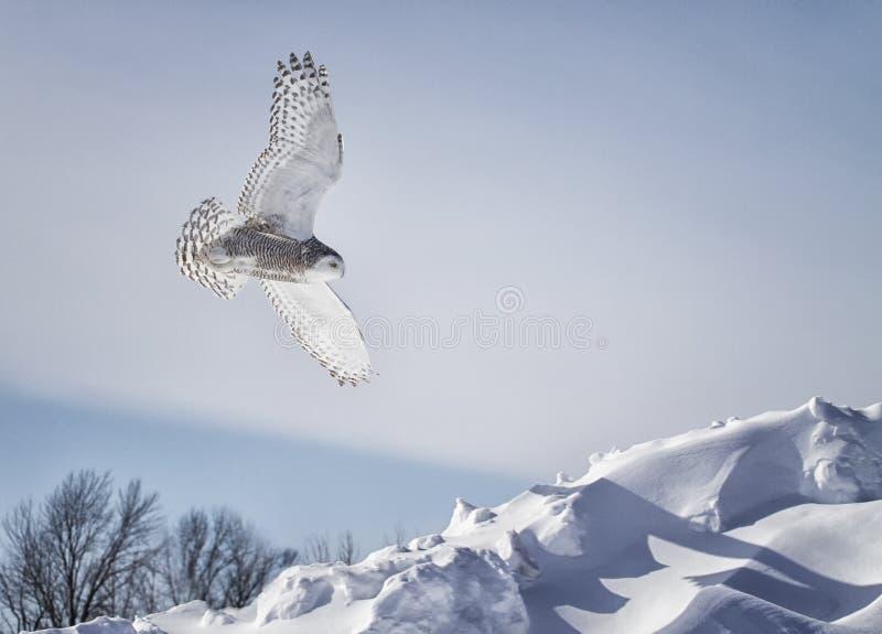 Sneeuwuil tijdens de vlucht stock foto