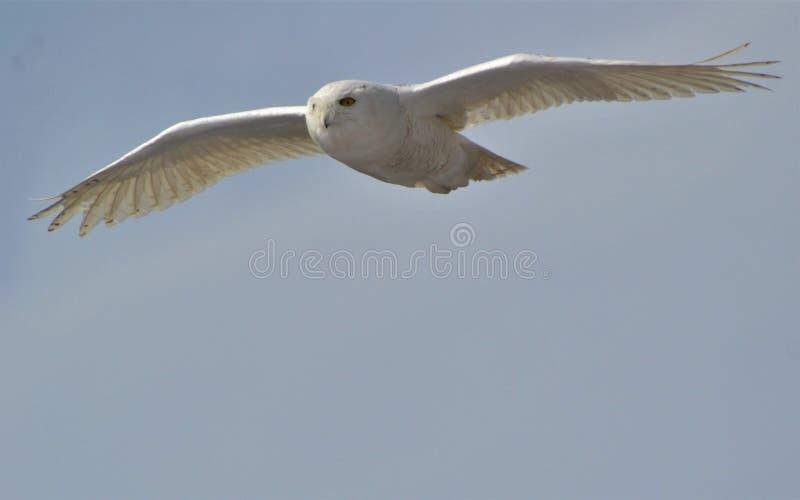 Sneeuwuil tijdens de vlucht voor voedselmuizen stock afbeeldingen