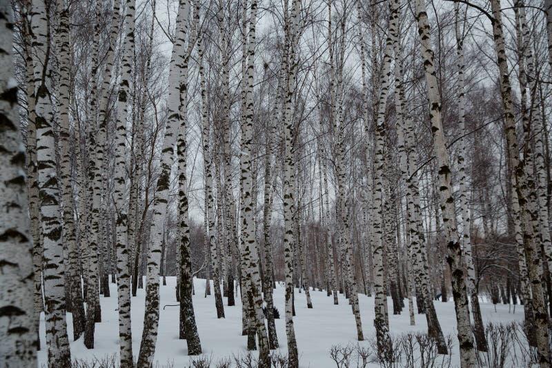 Sneeuwval in de stad Snow-covered berkbomen in een stadspark royalty-vrije stock afbeeldingen