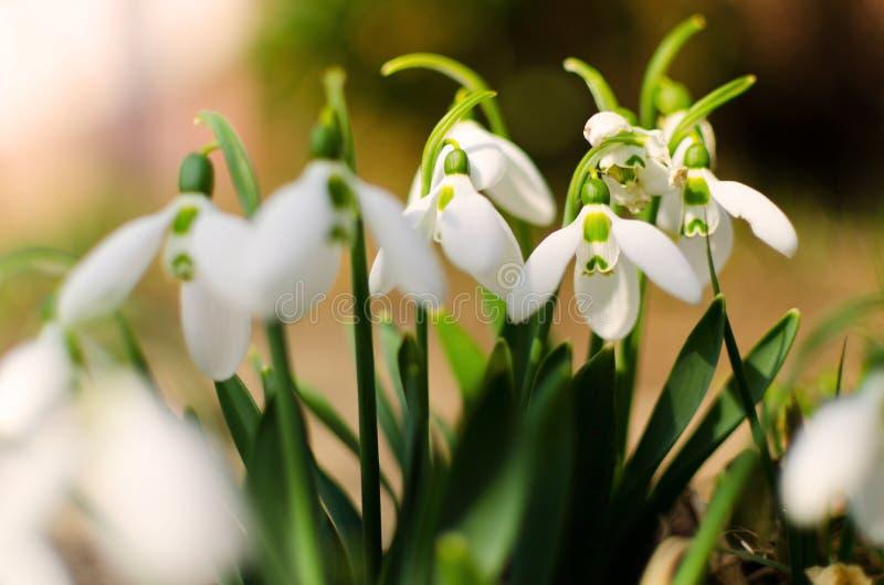 Sneeuwvlokken in het licht van de lente stock foto
