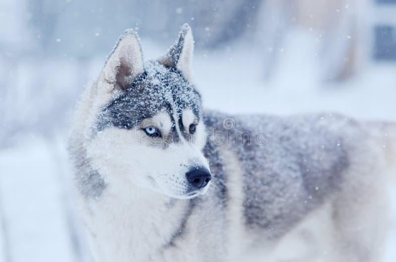 Sneeuwvlokken op de hoofd Siberische schor hond in ou van de de winterblizzard stock afbeelding