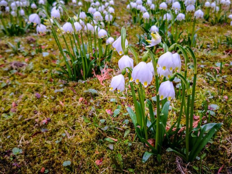 Sneeuwvlokkenbloemen in de tuin tijdens de lentetijd royalty-vrije stock foto's