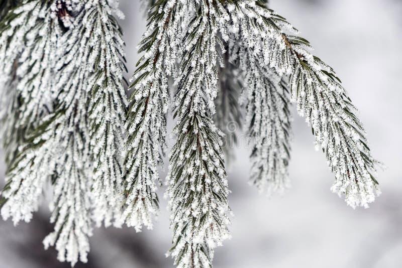 Sneeuwwitte naalddietakjes, met ijskristallen worden behandeld royalty-vrije stock foto's