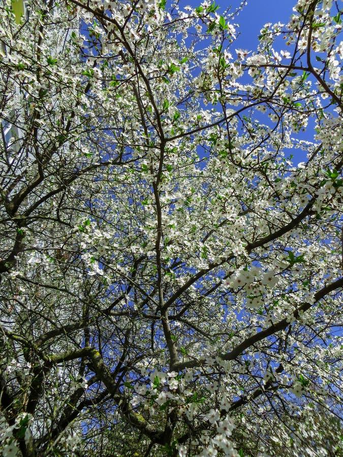 Sneeuwwitte takken van bloeiende kersenpruim, in de de lentetuin stock foto's
