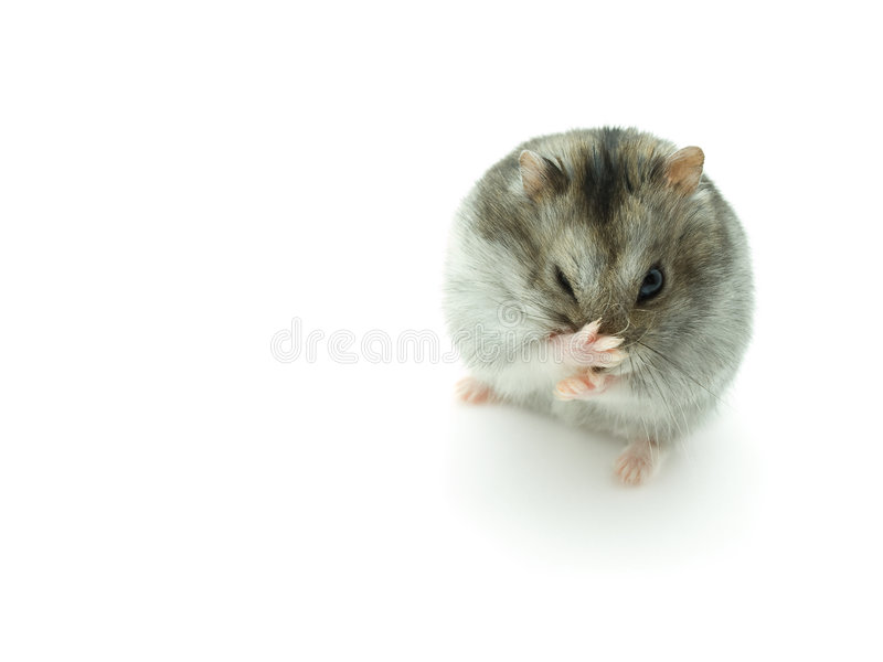 Sneeze hamster isolated on white background. stock photography
