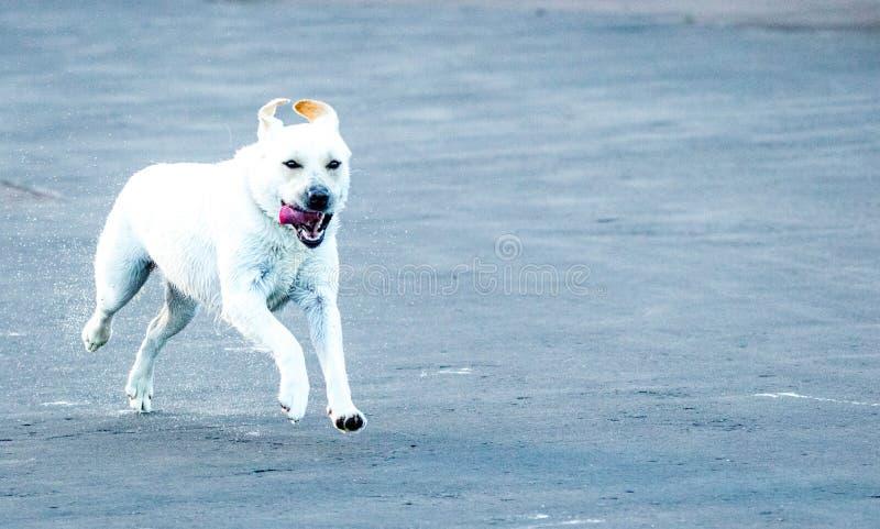 Snel Labrador royalty-vrije stock foto