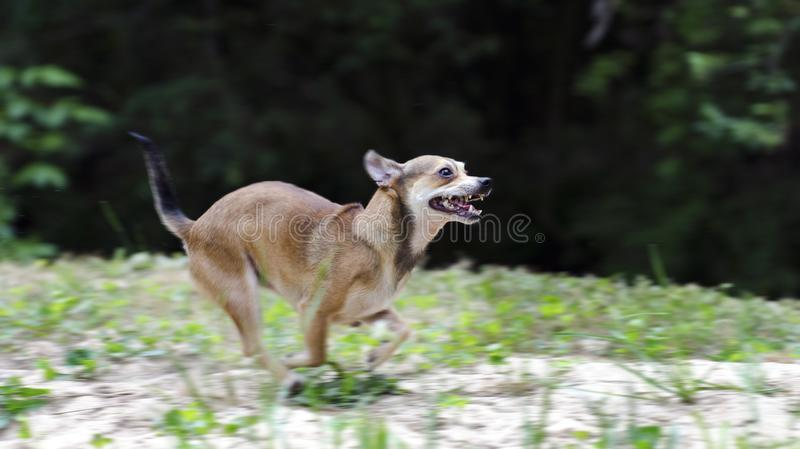Snel lopende Tan Chihuahua-hond stock afbeelding