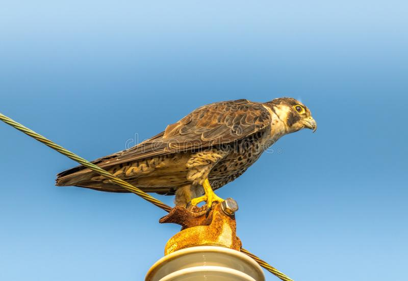Snelle en woedende Peregrine Falcon stock afbeelding