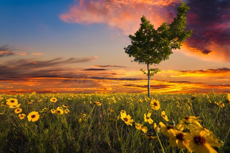 Snett träd i ett solrosfält royaltyfria bilder