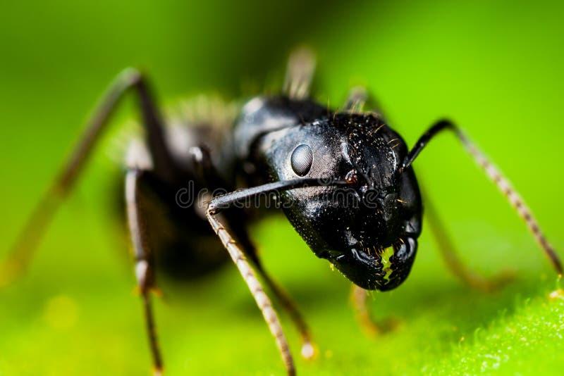 Snickare Ant royaltyfri fotografi