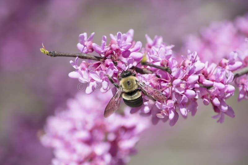Snickare Bee på Redbud blommor royaltyfri foto