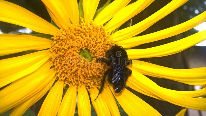 Snickarehumla som samlar pollen royaltyfri fotografi