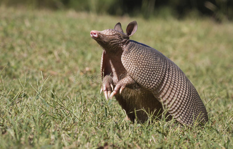 Sniffing The Air. A Texas Armadillo Dasypus novemcinctus sniffing the air searching for a scent stock image