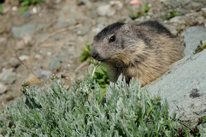 Sniffing Alpine Marmot. This squirrel is sniffing on a little plant stock photos