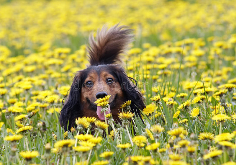 Sniffing a dandelion royalty free stock image