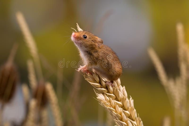 Sniffing Harvest Mouse royalty free stock photos