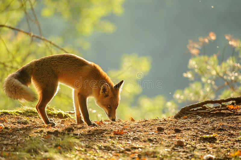 Sniffing red fox in beauty autumn backlight. From side view royalty free stock photos