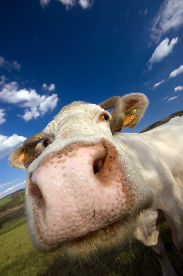 snifing的母牛 库存照片