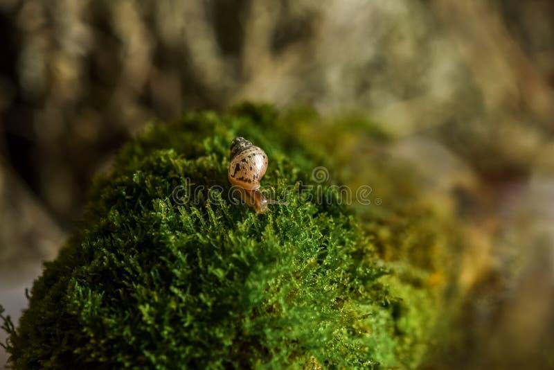 Snigel Achatina Achatina snigel som kryper på ett grönt blad arkivbilder