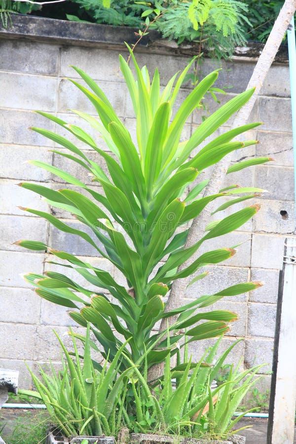 Snigel eller Gastropod på bladet som visar fred av naturen Thailändsk ört: Aloe Vera Tree som är en av trädet, som kan hjälpa för royaltyfria foton