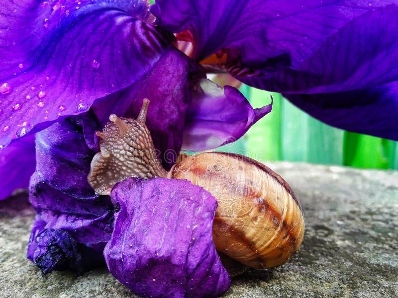 Snigel som äter en purpurfärgad petunia arkivbilder