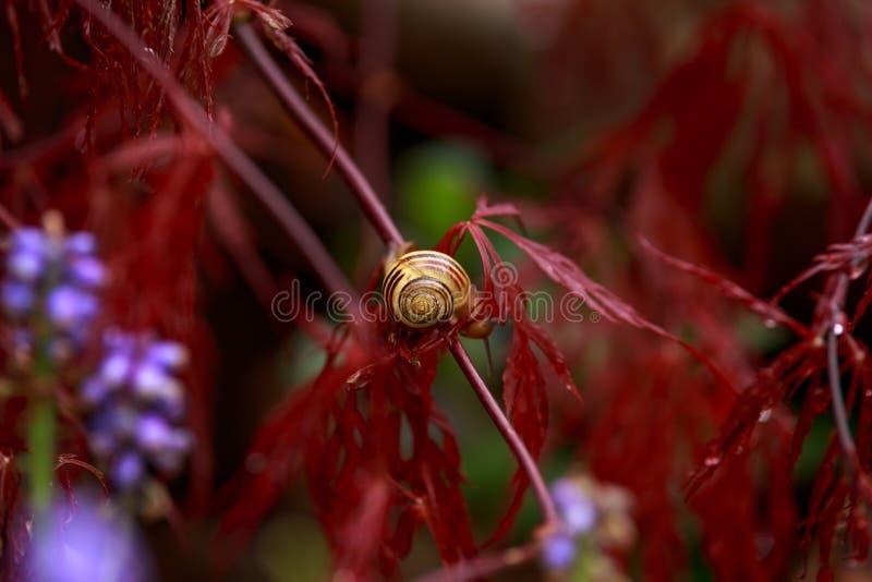 Snigel som sitter på röd lövverk av den gråta Acer för träd Laceleaf för japansk lönn palmatumen i trädgård royaltyfri foto
