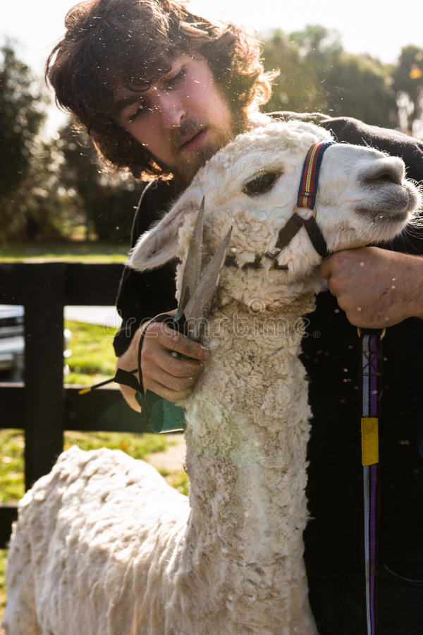 Snijmachine en witte Huacaya-alpaca royalty-vrije stock afbeelding
