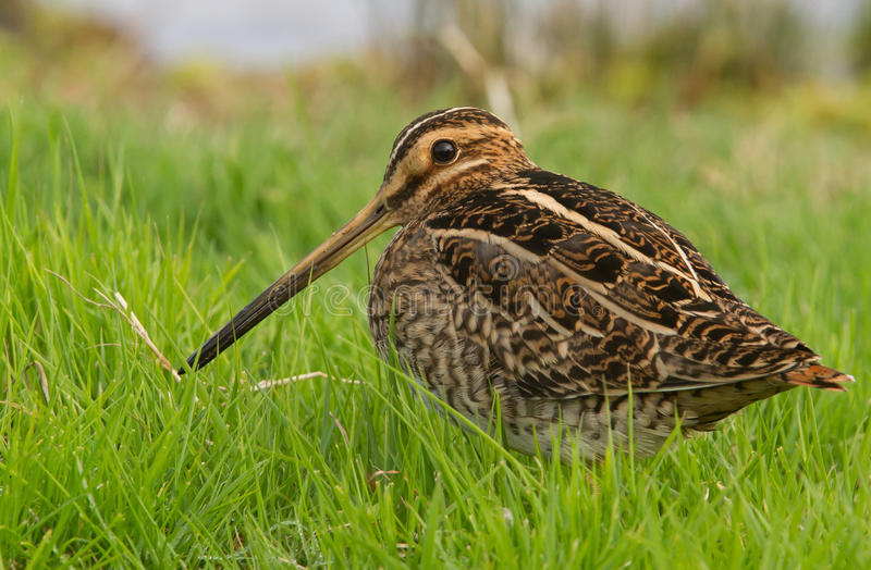 Download Snipe stock photo. Image of field, feather, common, beak - 20590520