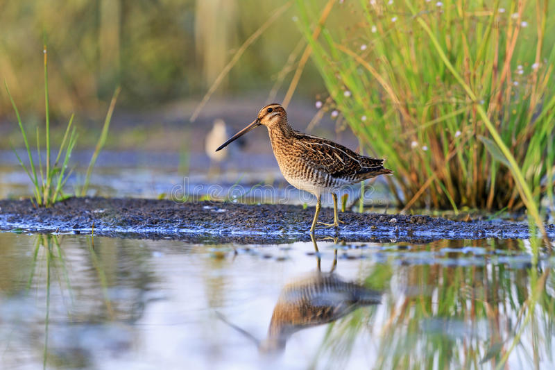 Snipe at the edge of the swamp royalty free stock photography