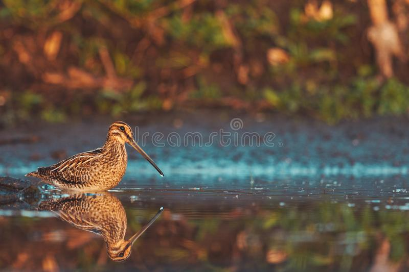 Snipe stands in shallow water in the morning fog stock images