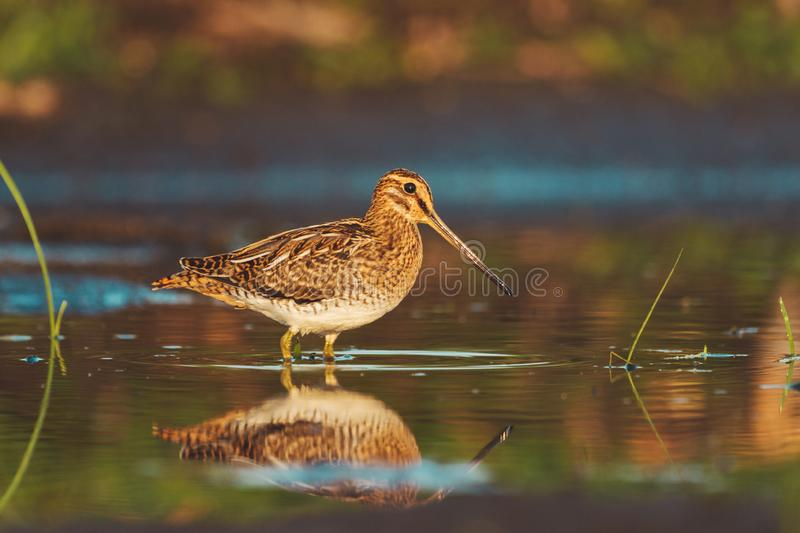 Snipe stands in shallow water with reflection in the water royalty free stock photos