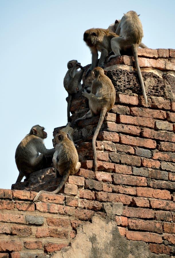 Snoei Buri, Thailand: Apen in Wat Prang SAM Yot stock foto