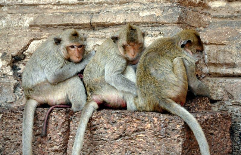 Snoei Buri, Thailand: Drie Apen stock afbeeldingen