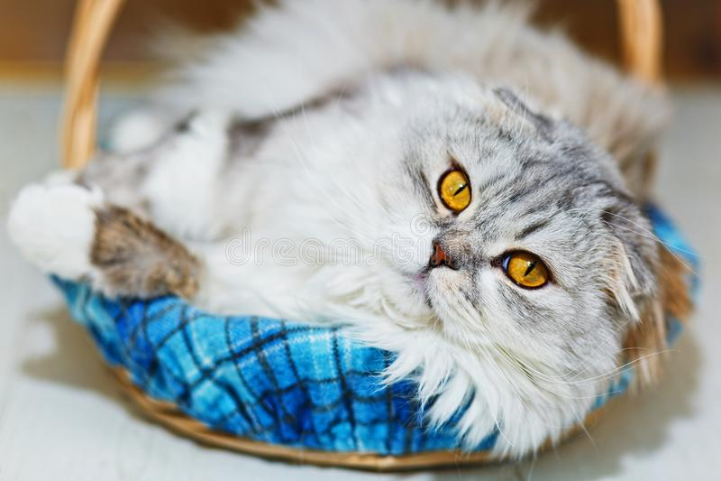 Snoei eared Schotse kat in mand stock afbeeldingen
