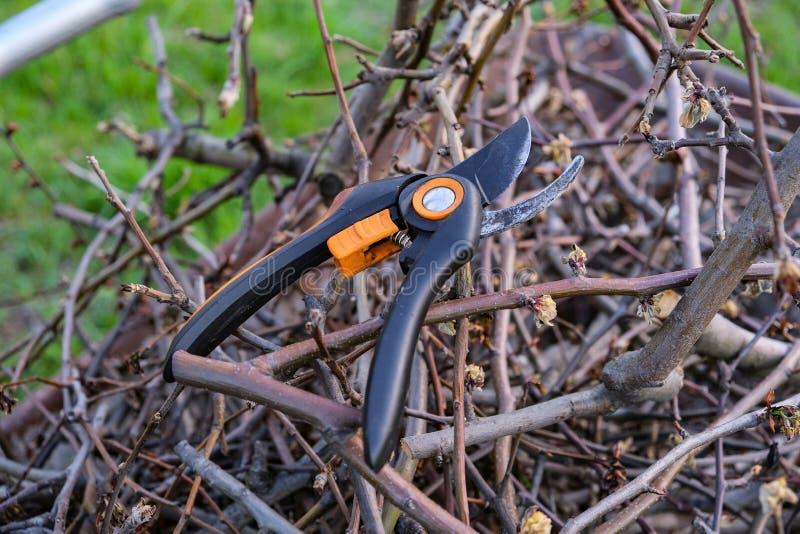 Snoeischaar op een perentak die wordt gehangen Het snoeien pruners van perentakken Het in orde maken van de boom met een snijder  stock afbeelding