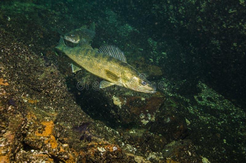Snoekbaarzen onderwater in St Lawrence River in Canada stock foto
