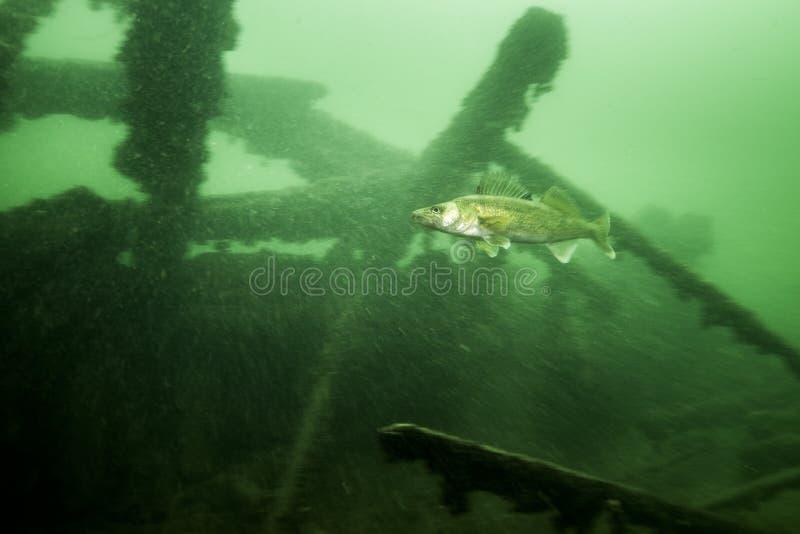 Snoekbaarzen onderwater in St Lawrence River in Canada royalty-vrije stock afbeelding