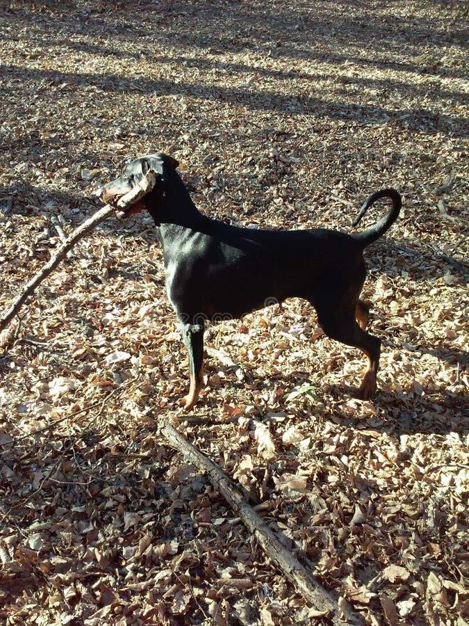 snoepje van de het gebladerte beuty zwarte bos natuurlijke tak van de hond het houten lente trenning stock foto