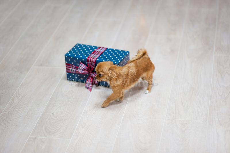 Snoepje weinig chihuahuahond die op vloer met copyspace lopen met royalty-vrije stock afbeeldingen