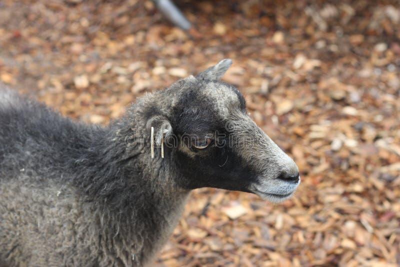Snoepje weinig geit stock afbeeldingen