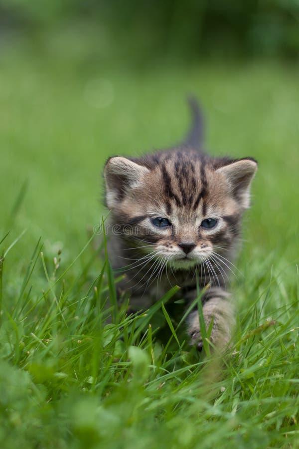 Snoepje weinig katje die door groen gras lopen royalty-vrije stock fotografie