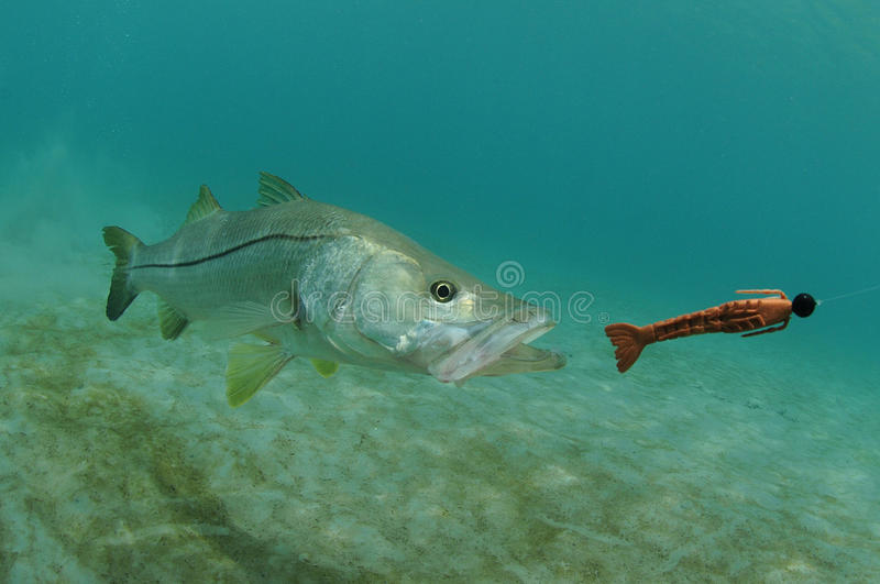 Snook fish chasing lure in ocean royalty free stock photos